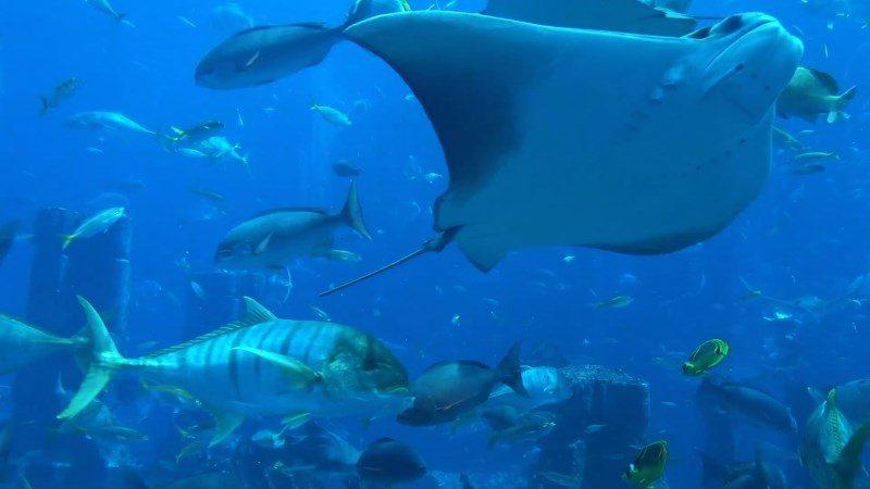 Stingray Fish Underwater